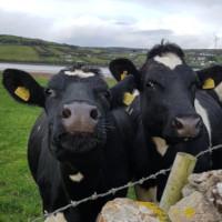 les vaches de la ferme